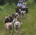 muddy-paws-rolling-dogsled